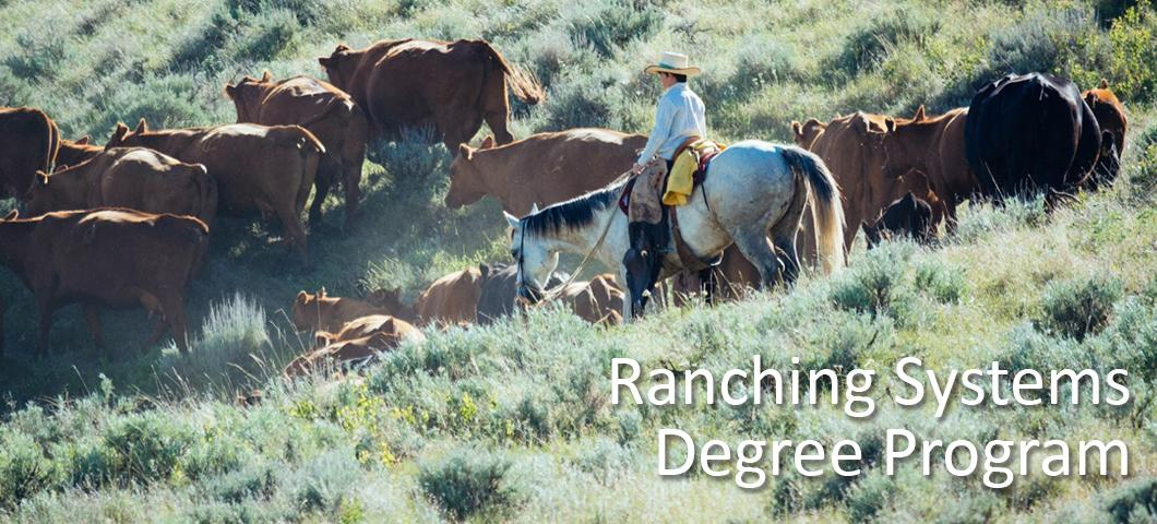 A wrangler moving cattle across the pasture.