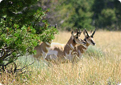 Antelope photo by Gary Matthews