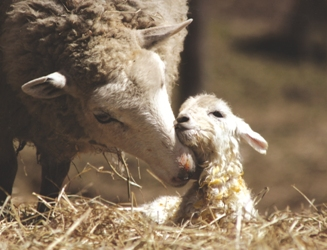 Mama sheep with baby lamb