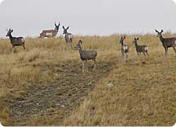deer on the range