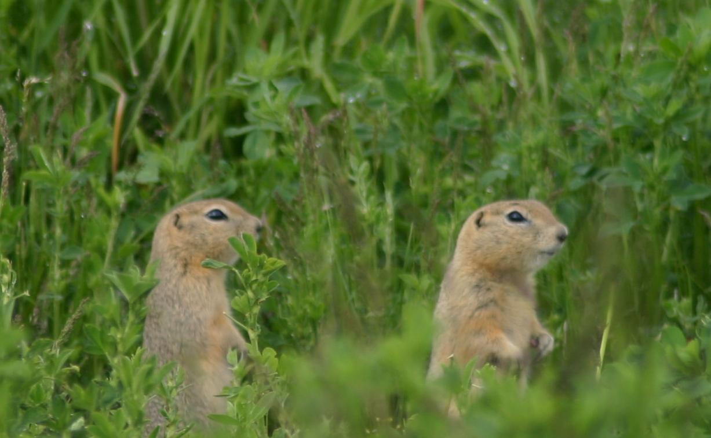Two ground squirrels