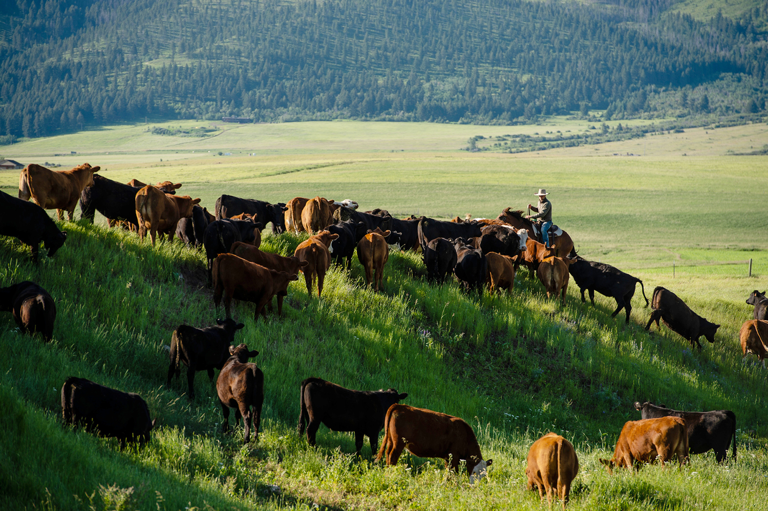 An MSU employee moves cattle at the Fort Ellis research station near Bozeman.